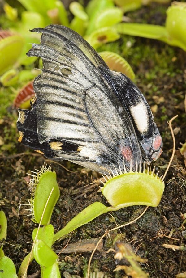 Tropisk fjäril som fångas av en köttätande växt för Venus flytrap arkivfoto