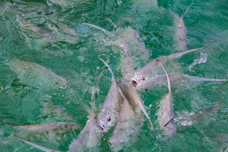 Tropisk frenesi för fiskmatning i det karibiska havet av kusten royaltyfri bild