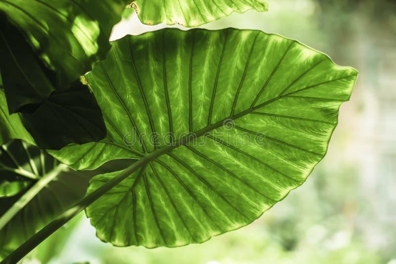 Tropisk grön bladnärbild med droppar av regn, naturlig textur, exotisk tropisk färgrik bakgrund fotografering för bildbyråer