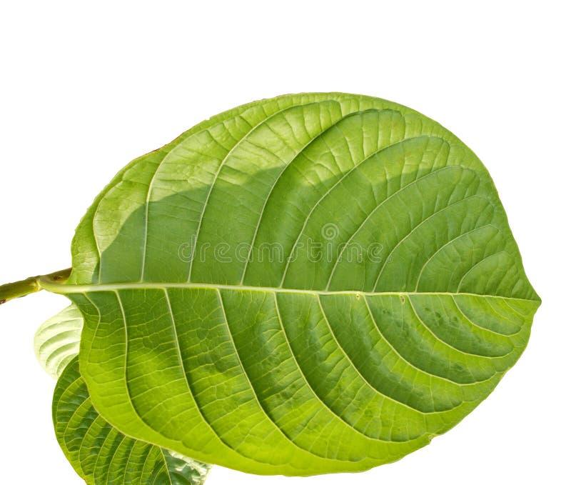 Tropisk grön lövverk med filialer som isoleras på vita bakgrunder royaltyfri foto