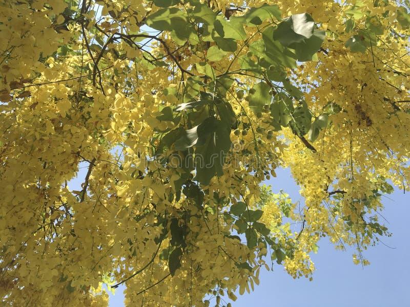 Tropisk guld- fistel L för duschblommaCassia med blå himmel på solig dag royaltyfria foton