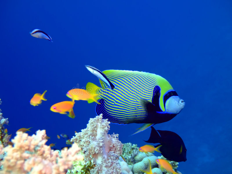 tropisk havsängelfisk arkivfoton