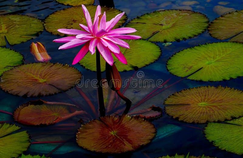 Tropisk hybrid- rosa näckros i dammet som omges av gröna block royaltyfria foton