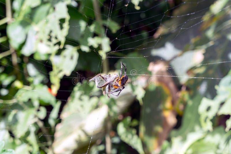 Tropisk Orb Weaver Spider med rovet i rengöringsduk royaltyfria foton
