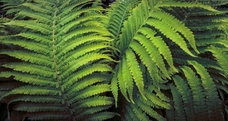 Tropisk ormbunkev?xt som v?xer i botanisk tr?dg?rd med m?rk ljus bakgrund fotografering för bildbyråer