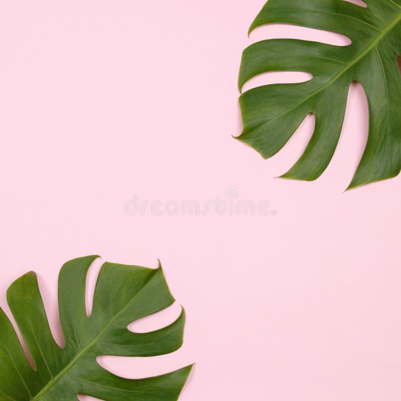 Tropisk palmblad på rosa bakgrund royaltyfria bilder