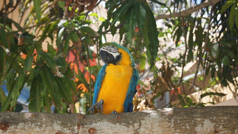 Tropisk papegoja. Ara. I Boca Chica Beach Domin arkivbilder