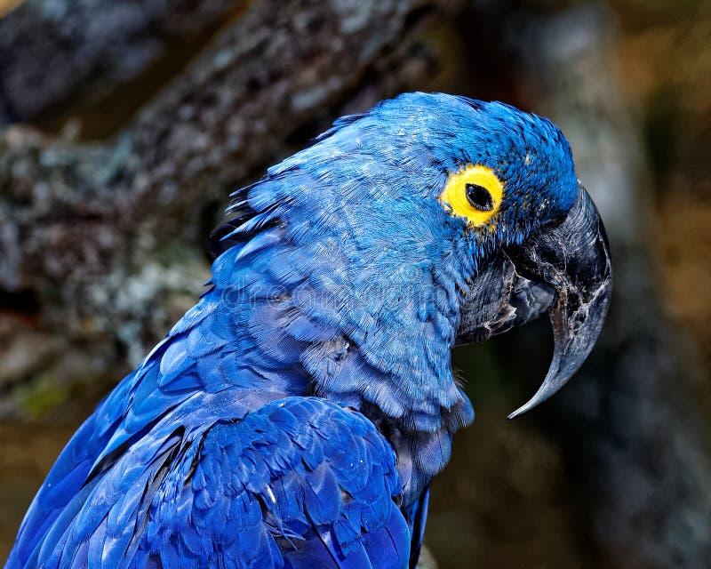 Tropisk papegoja med blå fjäderdräkt i dess livsmiljö royaltyfria foton