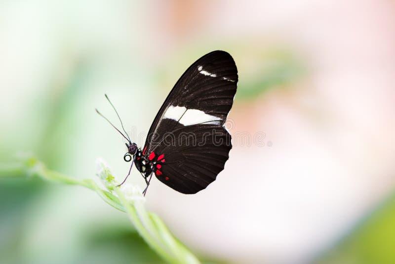Tropisk Passion-vinranka fjäril arkivfoton
