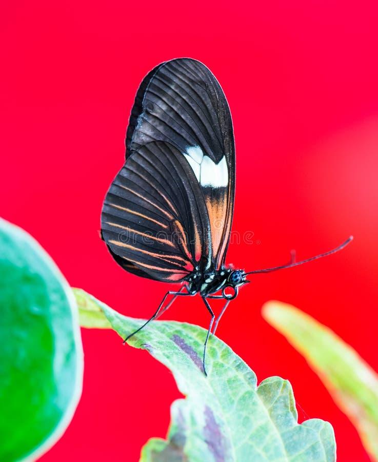 Tropisk Passion-vinranka fjäril royaltyfri bild