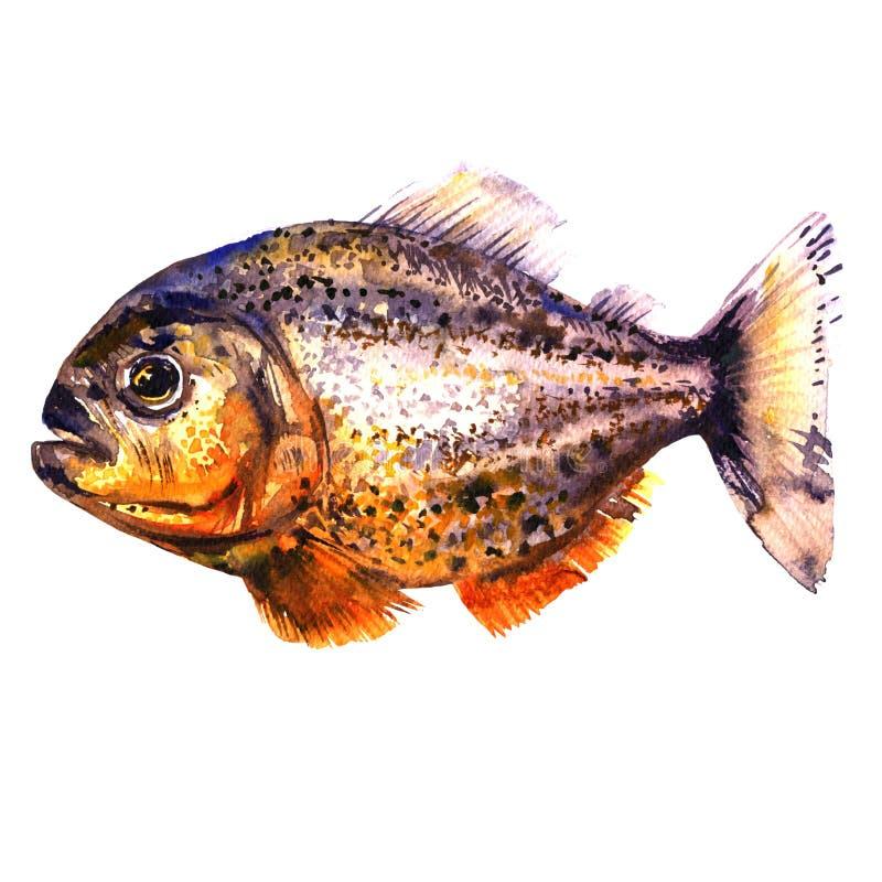 Tropisk röd piranha, rov- fisk, sidosikt, pirahna som isoleras, vattenfärgillustration på vit stock illustrationer