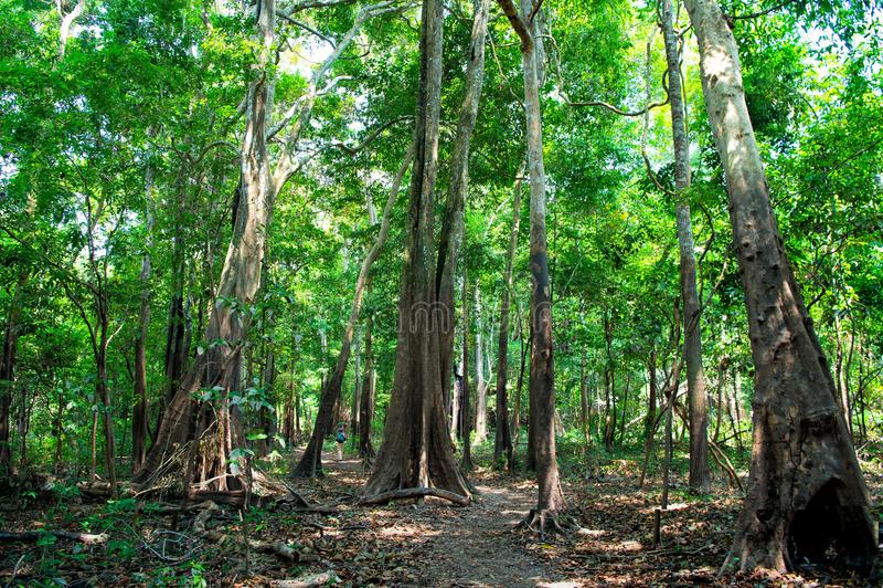 Tropisk rainforest in i manaus, Brasilien Träd med gröna sidor i djungel Sommarskog på naturligt landskap Naturenvironmen arkivfoto
