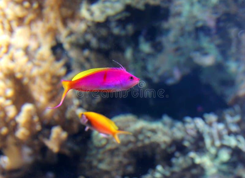 Tropisk rosa livlig fisk royaltyfri fotografi