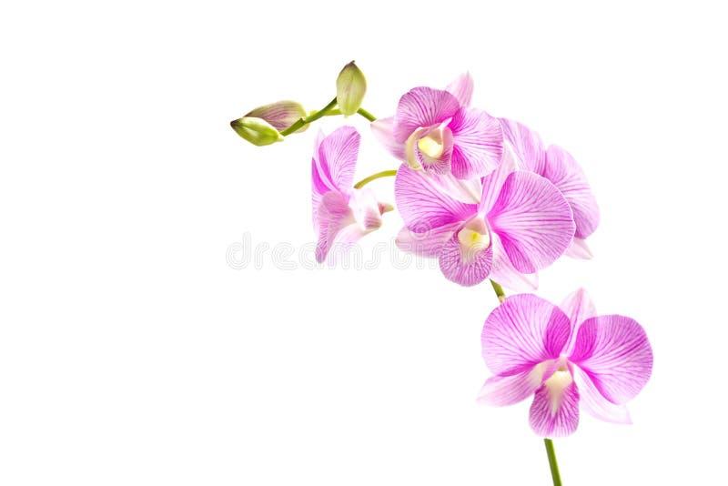 Tropisk rosa strimmig isolerad bakgrund för orkidé blomma fotografering för bildbyråer