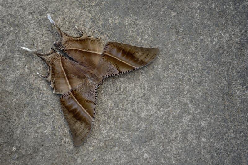 Tropisk Swallowtail mal royaltyfria bilder