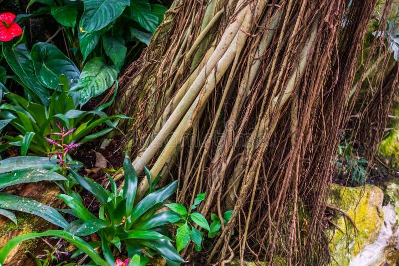 Tropisk trädstam över som är fullvuxen med vinrankor, dekorativa växter, naturbakgrund av en exotisk trädgård royaltyfri foto