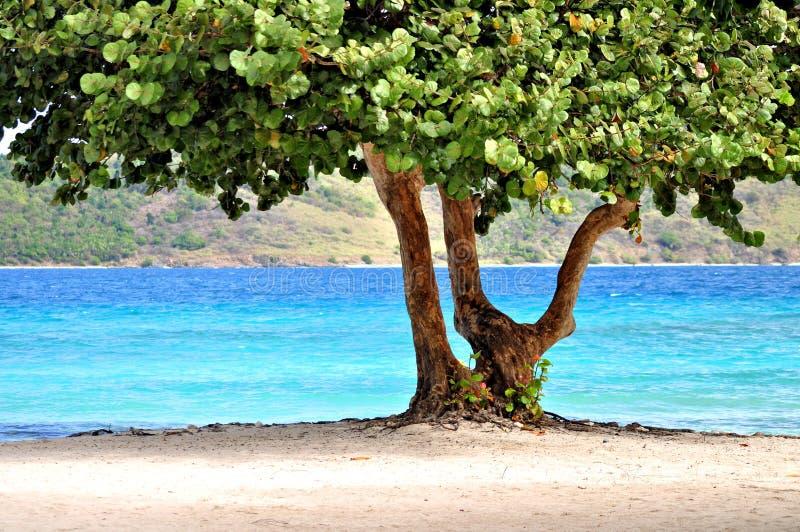 tropisk tree för strandst thomas royaltyfri fotografi