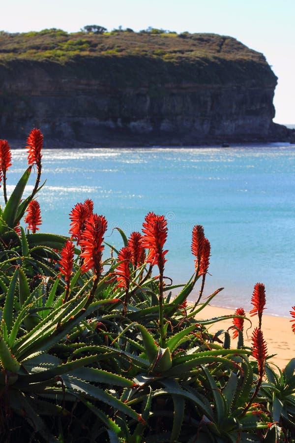 Tropisk växt för röd blomning på det kust- landskapet royaltyfria foton