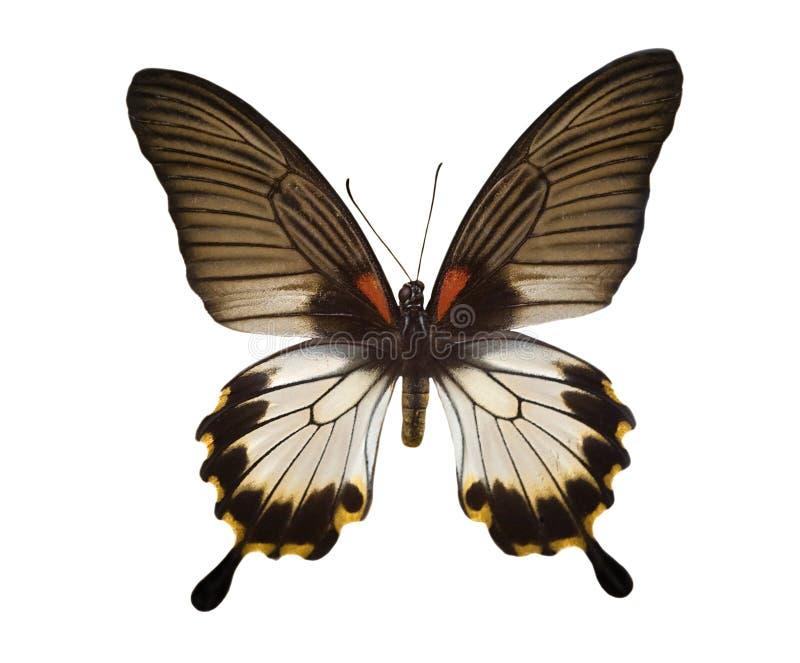 tropisk white för svart fjäril royaltyfri foto
