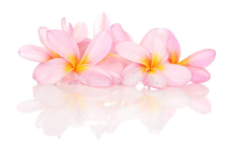 Tropiska blommor på vit med reflexion royaltyfria bilder