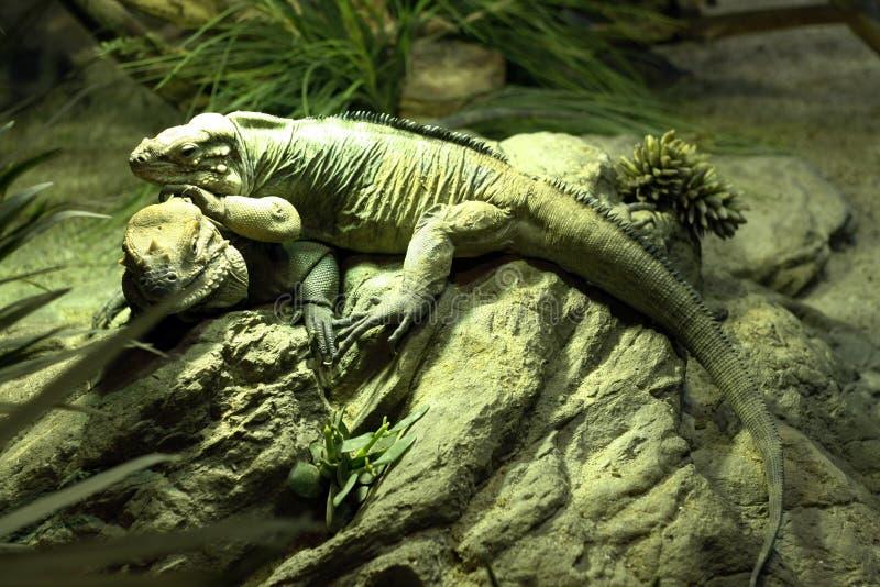 Tropiska djur för reptilormleguan i faunor för zoologiska trädgårdar för bilaga för naturlig livsmiljö arkivfoton