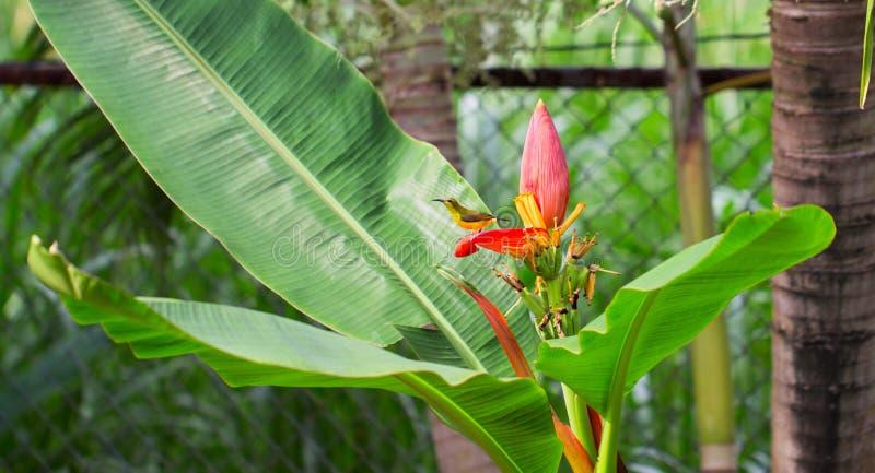 Tropiska fågelallsånger på bananblomman Oliv-baksida sunbirdman på den exotiska växten Exotiskt naturfoto royaltyfri bild