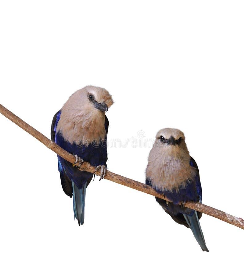 Tropiska fåglar arkivbilder