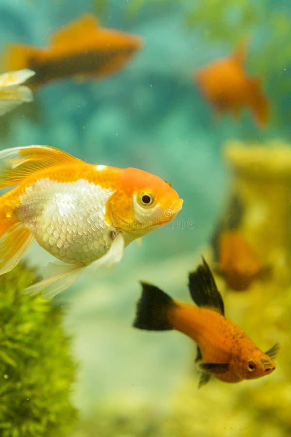Tropiska f?rgrika fiskar som simmar i akvarium med v?xter fiska i s?tvattens- akvarium med gr?nt h?rligt planterat tropiskt royaltyfria bilder