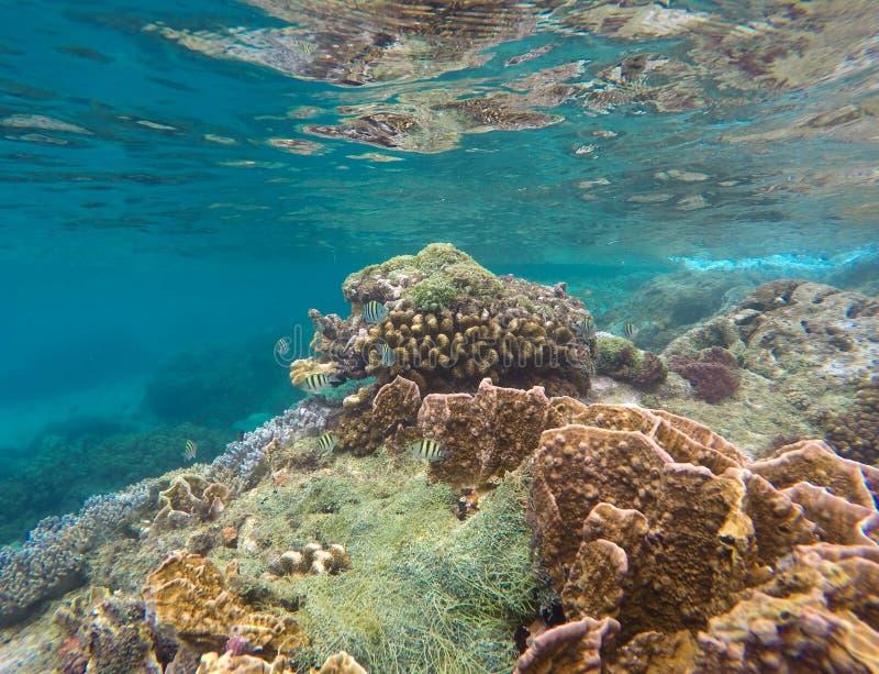 Tropiska fiskar och korallrev i blått vatten Exotiskt marin- liv royaltyfria bilder