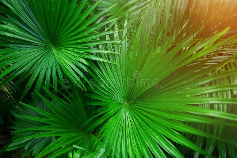 Tropiska gröna palmblad i exotiskt ändlöst sommarland med solljus royaltyfri bild