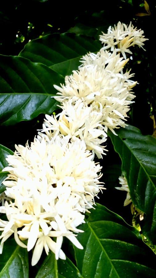 Tropiska kaffeblommor royaltyfria bilder