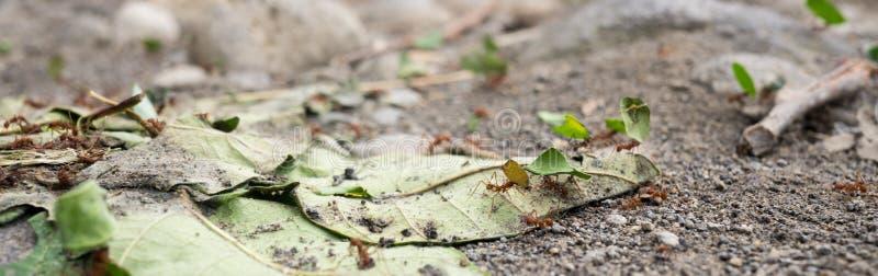 tropiska myror arkivfoto