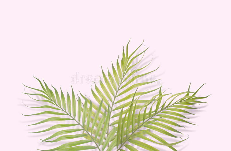 Tropiska palmblad på rosa bakgrund Minsta natur Sommar arkivfoton