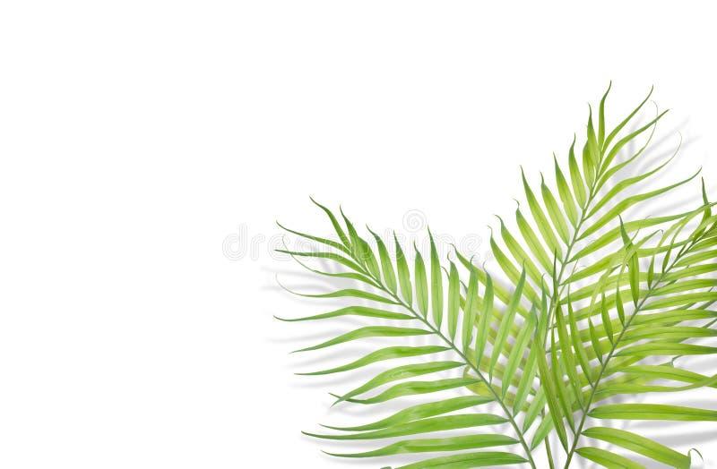 Tropiska palmblad på vit bakgrund Minsta natur Sommar royaltyfri bild