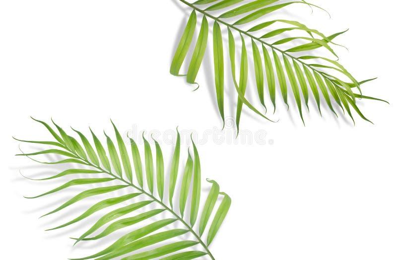 Tropiska palmblad på vit bakgrund Minsta natur Sommar arkivbild