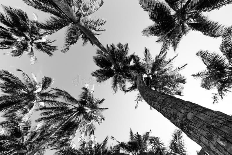 Tropiska palmträd i svartvitt från en låg punkt av sikten Se upp palmträd under blå himmel royaltyfri bild