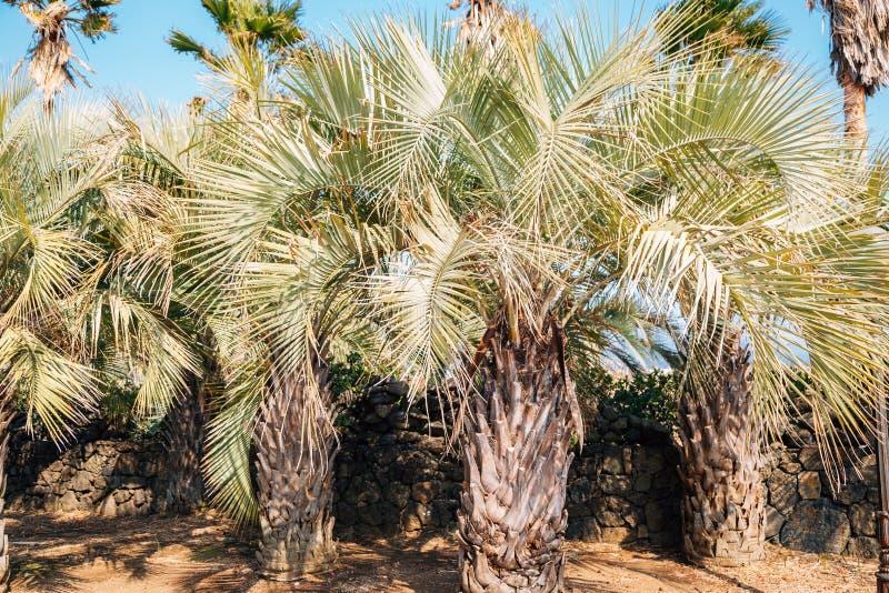 Tropiska palmträd på Daepo Jusangjeolli i den Jeju ön, Korea arkivfoton