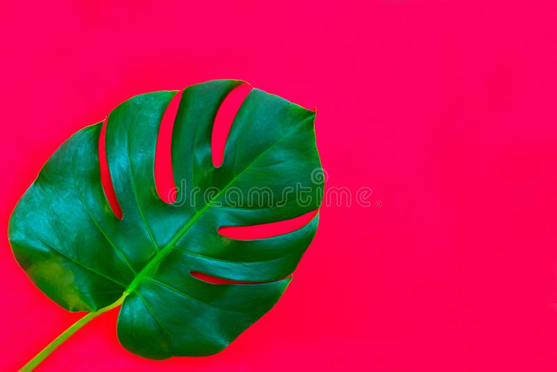 Tropiska sidor av Monstera på en röd bakgrund Idérik orientering av verkliga tropiska sidor på en röd bakgrund sommar f?r sn?cksk royaltyfri fotografi