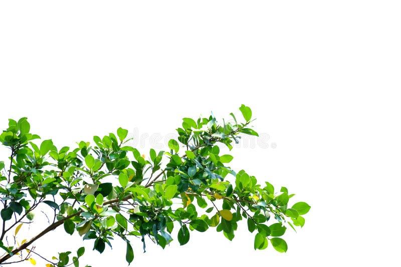 Tropiska trädsidor med filialer på vit isolerad bakgrund för grön lövverkbakgrund royaltyfria foton