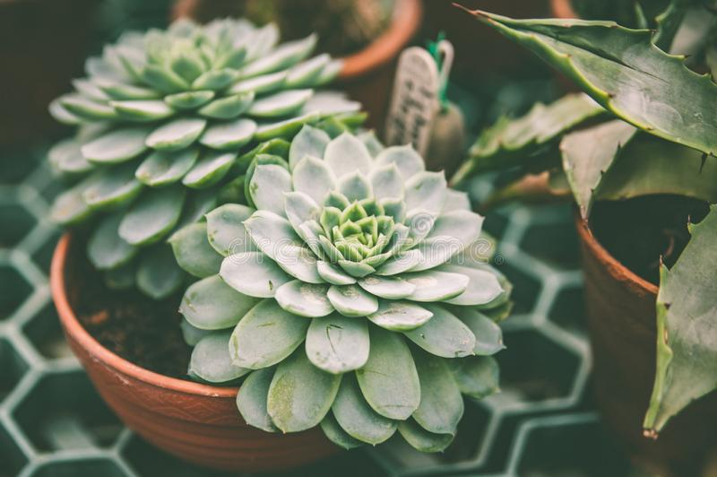 Tropiska växter i krukasuckulenter, ämnet av floriculture, odling royaltyfria bilder