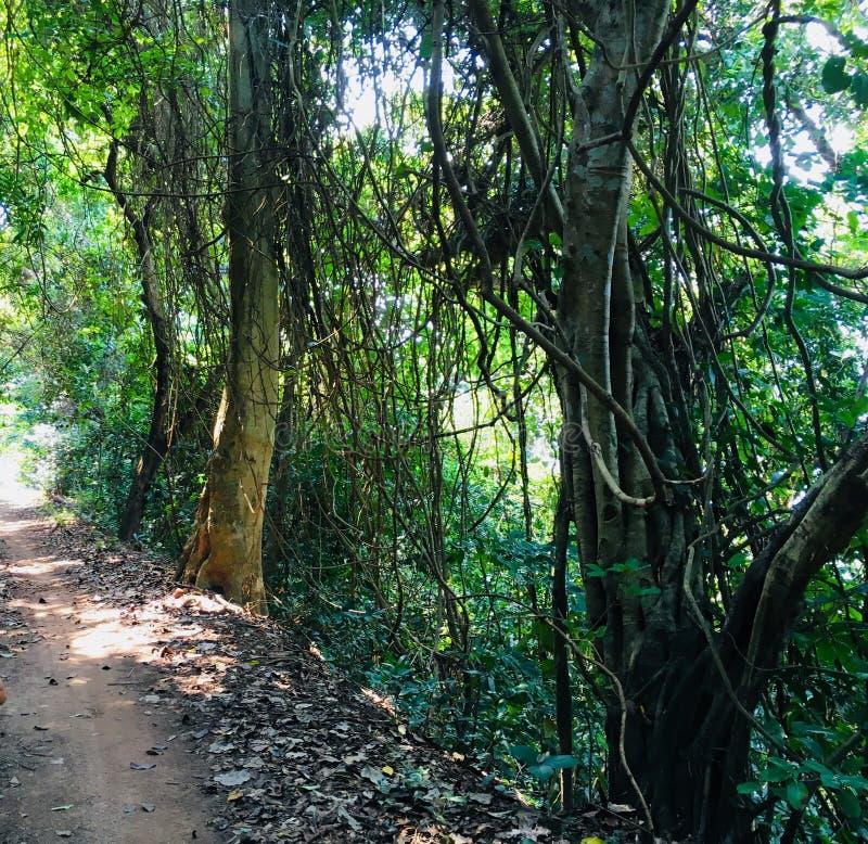 Tropiska vinrankor av Cambodja fotografering för bildbyråer