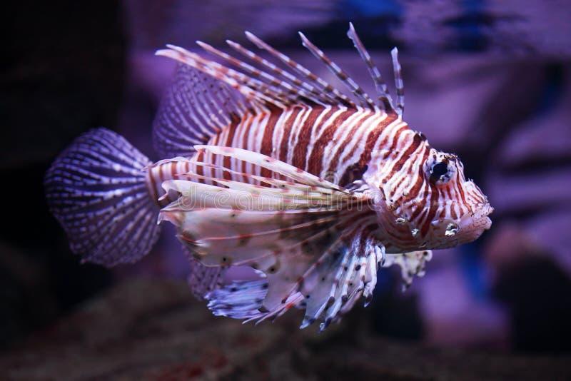 tropiska volitans för fiskpterois arkivbilder