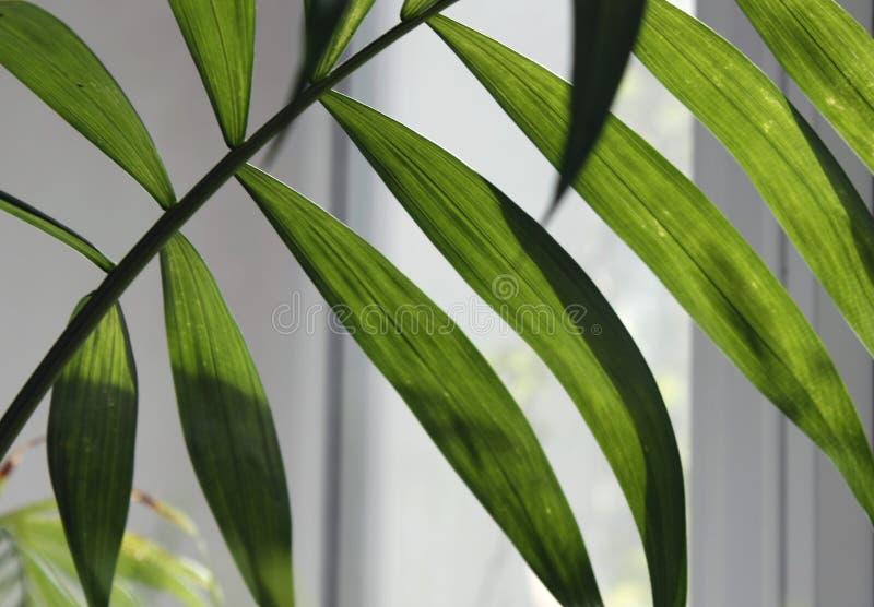 tropiskt blad, stor lövverk, abstrakt grön textur, closeup mot fönstret arkivbilder