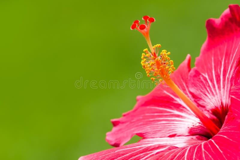 Tropiskt blommasläkte detalj för röd och rosa hibiskus för foto för hibiskusmakronärbild med ljus intensiv gräsplan ut ur fokus arkivfoto