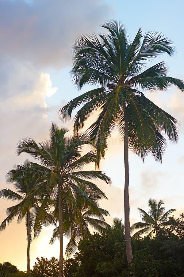 Tropiskt gömma i handflatan på solnedgången på St Thomas Island, Jungfruöarna, USA arkivbild