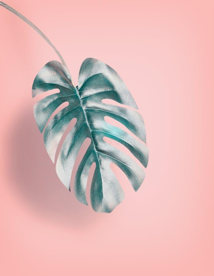 Tropiskt hängande Monstera blad på bakgrund för pastellfärgade rosa färger, sommarbakgrund med kopieringsutrymme royaltyfri bild