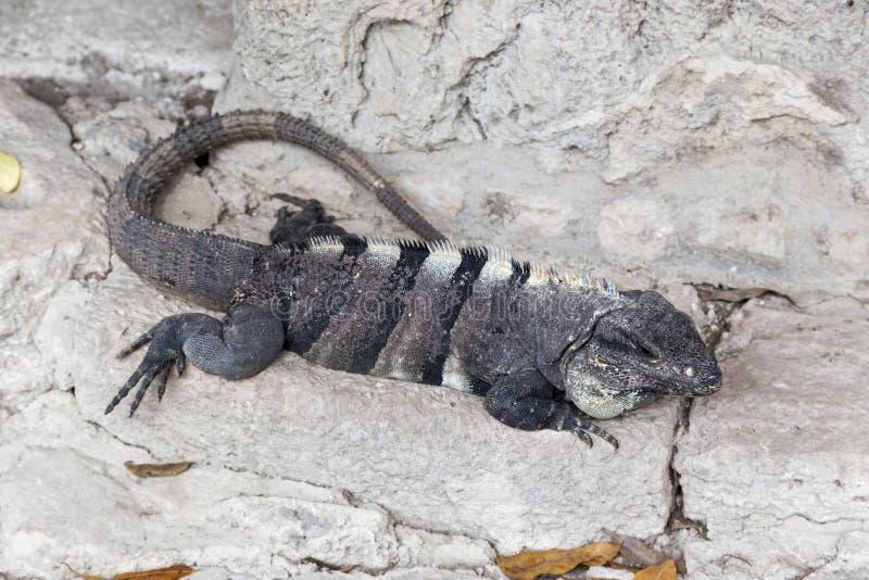 Tropiskt klimat San Gervasio Ruins Cozumel Mexico för leguanreptilödla royaltyfria foton