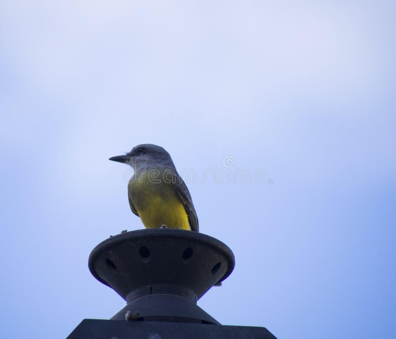Tropiskt konungfågelanseende på ett polljus royaltyfri fotografi