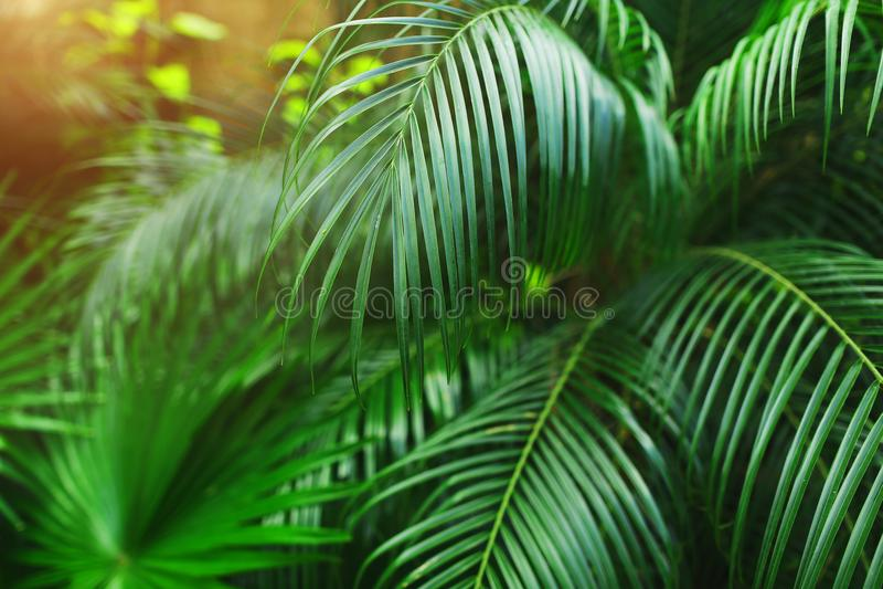 Tropiskt ljust - gröna palmblad med solljus tapetserar i exotiskt ändlöst sommarland royaltyfri bild