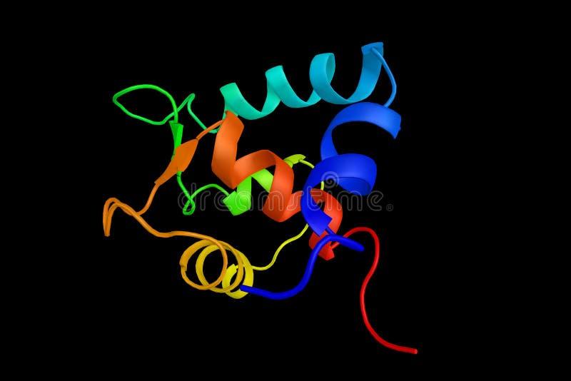 Troponin C, proteina która przebywa w troponin kompleksie ilustracja wektor